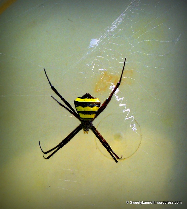 A black and yellow garden spider